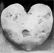 THE POTATO IN HEART FORM.